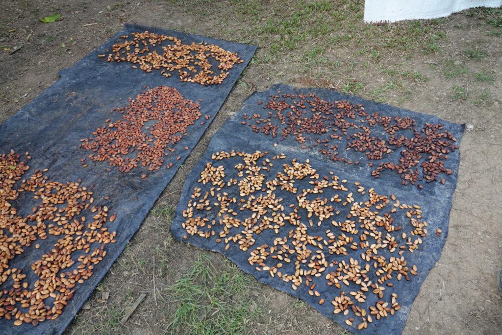 fèves de cacao sur de grandes bâche