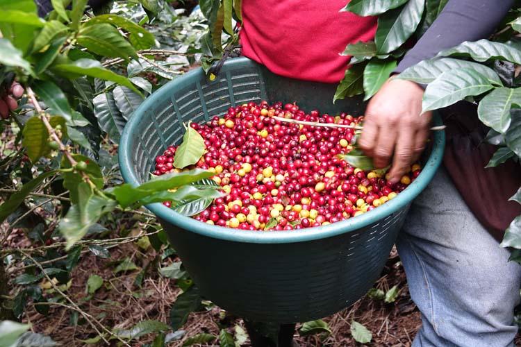 aider recolte cafe costa rica