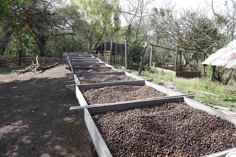 cafe mireflor recolte et processus immersion chez l habitant