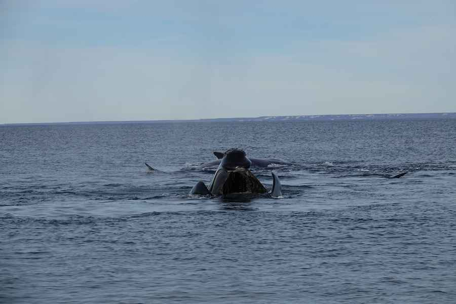 baleine puerto madryn