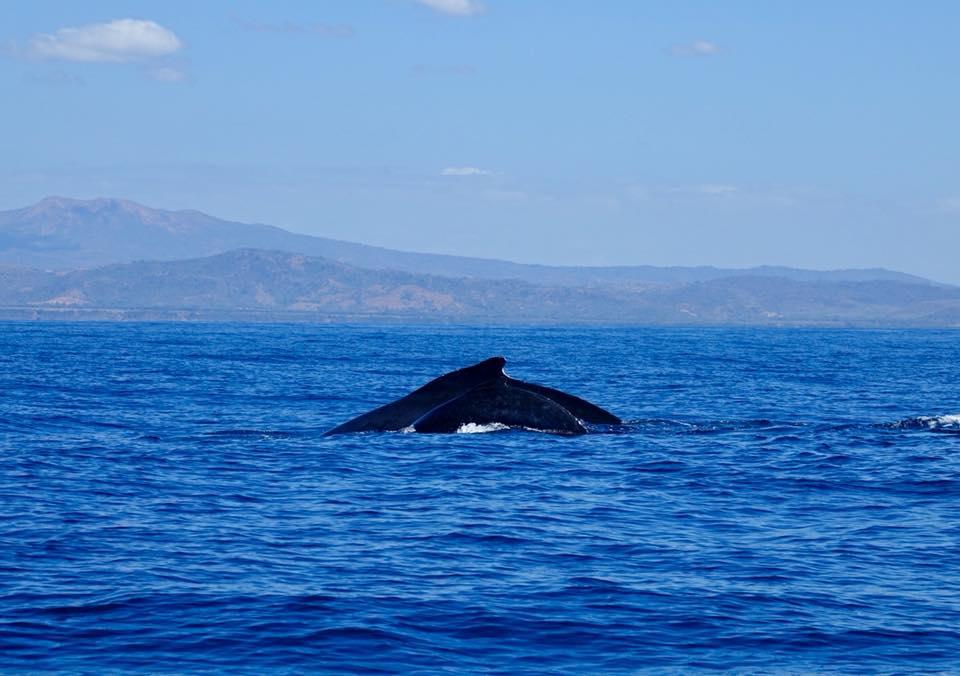 baleines à bosses a padre ramos