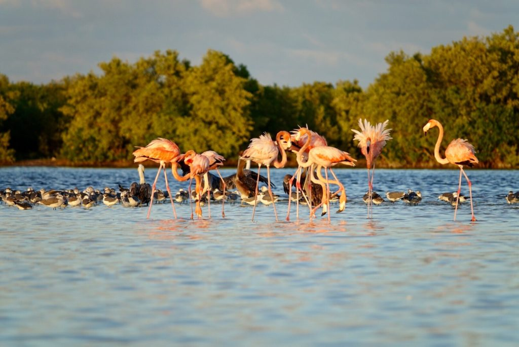 Flamands Roses à Rio Lagartos - Yucatan