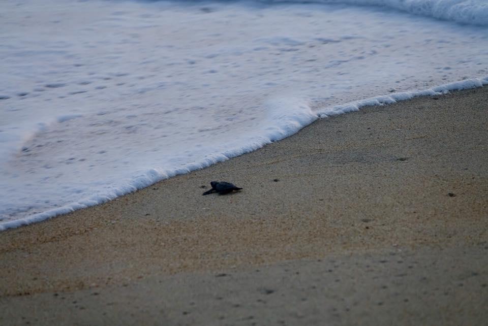tortue à puerto escondido cote pacifique de Oaxaca
