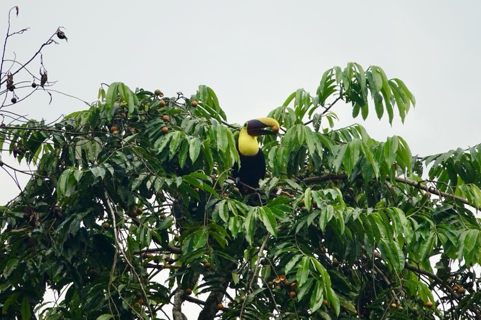 La Bolita Dos Brazos Corcovado toucan