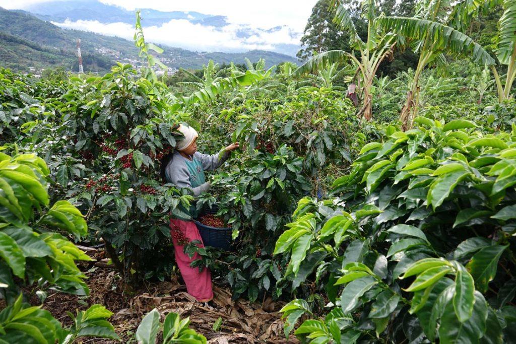 cafe costa rica recolte